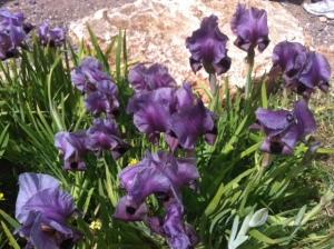 Gilboa Iris
